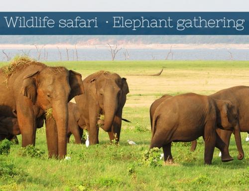 Wildlife Safari and Elephant gathering
